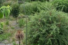 Allium-Forelock