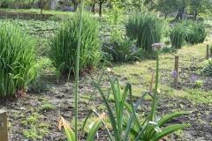 Allium-Gladiator