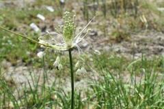 Allium-podolicum