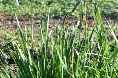 Iris-sanguinea