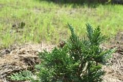Chamaecyparis lawsoniana NIDIFORMIS