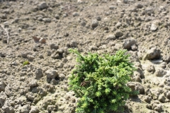 Chamaecyparis pisifera PLUMOSA COMPRESSA