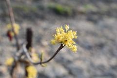 Cornus-officinalis