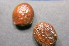 Acanthus-longifolius