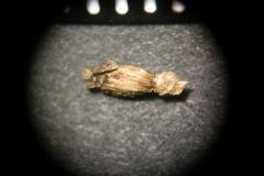 Achillea-asplenifolia
