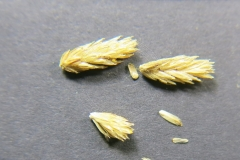 Achillea-filipendulina