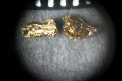 Aconitum-lasiostomum