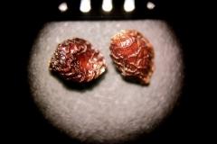 Aconitum-leucostomum
