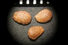 Actinidia-arguta