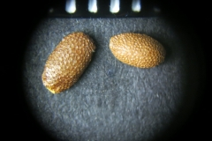 Actinidia-purpurea