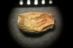 Adonis-vernalis