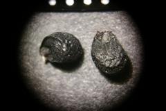Allium-cernuum
