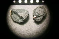 Allium-cristophii