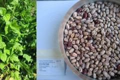 Phaseolus vulgaris _uszkai_tf.