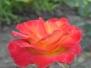 Kommersz rózsák gyűjteménye