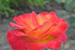 Alinka-rose