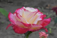 Duble-delight-rose