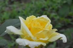 Mabella-rose