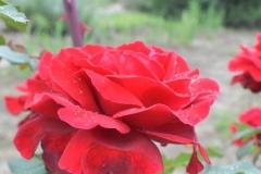 Szaffi-rose